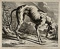 A greyhound. Etching by J. E. Ridinger. Wellcome V0021141.jpg