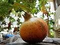A pomegranate.JPG