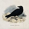 A raven (Corvus corax). Coloured engraving by Whimper. Wellcome V0022226EL.jpg