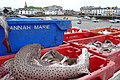 A recent catch at Ilfracombe harbour. - geograph.org.uk - 1241010.jpg