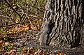 A rustling of the leaves led me to spot this squirrel (27287108543).jpg