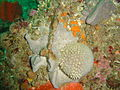 A variety of sponges in grey and orange at Coral Gardens Rooi-els DSC02152.jpg