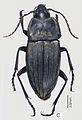 Abacoleptus curtus ZooKeys-147-337-g017 C.jpg