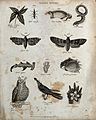 Above, an insect, a musk rat, a siren (eel-shaped taile amph Wellcome V0020675ER.jpg
