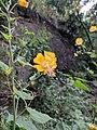 Abutilon persicum 135.jpg