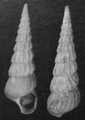 Abyssochrysos melanioides shell holotype.png