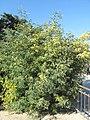 Acacia decurrens (Jardin des Plantes de Paris) 1.jpg