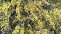 Acacia saligna in Israel - 05.jpg