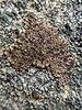 Acarospora fuscata - Photo garmonb0zia, sin restricciones conocidas de derechos (dominio publico)