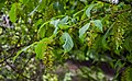 Acer davidii in Hackfalls Arboretum (2).jpg