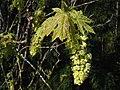 Acer macrophyllum 0304.jpg