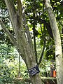 Acer oliverianum - Kunming Botanical Garden - DSC02983.JPG