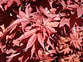 Acer palmatum (33757558900).jpg