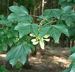 Acer pseudoplatanus 2