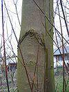 Acer saccharinum rinde.jpeg