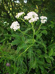 AchilleaMillefolium001