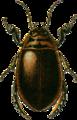 Acilius sulcatus male Jacobson.png