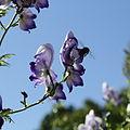 Aconitum sp.-IMG 5592.jpg