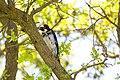Acorn woodpecker (25813711043).jpg
