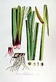 Acorus calamus — Flora Batava — Volume v7.jpg