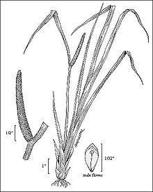 Acorus - Chi Acorus 220px Acorus calamus illustration