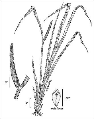 Acorus - Sweet Flag (2006 drawing by USGS Northern Prairie Wildlife Research Center)