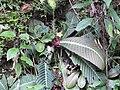 Acrotrema arnottianum-3-peppara wildlife-kerala-India.jpg
