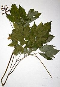 Actaea pachypoda BW-1979-0914-0568.jpg