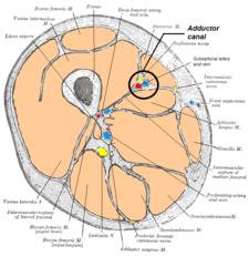 Canalis adductorius zvýrazněný na řezu stehnem.