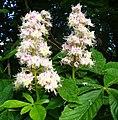 Aesculus hippocastanum (Horse chestnut), Lainshaw Woods, Stewarton, East Ayrshire.jpg