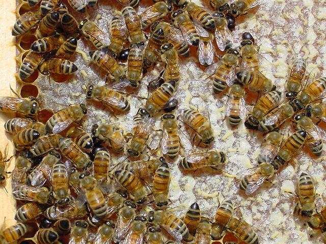 Včelie spoločenstvo