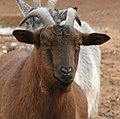 African Pygmy Goat 002.jpg