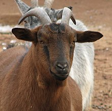 Kambing - Wikipedia bahasa Indonesia 5c79922e81