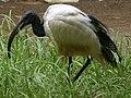African Sacred Ibis - Threskiornis aethiopicus - Heiliger Ibis - Ibis sacré - 01.jpg