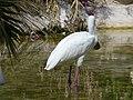 African Spoonbill - Platalea alba - Afrikanischer Löffler - 03.jpg