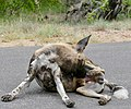 African Wild Dog (Lycaon pictus) male ... (obviously) (50128649077).jpg