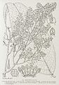 Afrodaphne caudata-1906.jpg