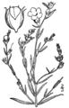 Agalinis heterophylla drawing.png