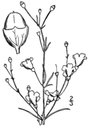 Agalinis obtusifolia drawing.png