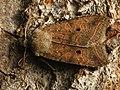 Agrochola lota - Red-line Quaker - Пухоногая совка ивовая (41065375562).jpg