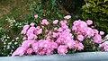 Aizoaceae.jpg