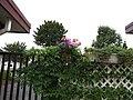 Akebia quinata (vine, fruits, flowers) 01.jpg