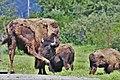 Alaska Wildlife Conservation Center ENBLA10.jpg