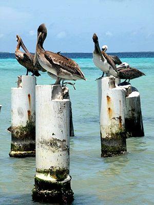 Los Roques archipelago - Brown pelican