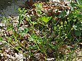 Alchemilla monticola plant (01).jpg