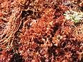 Algae Imabassai.jpg