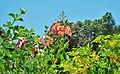 Allamanda blanchetii, Caesalpinia pulcherrima & Tecoma stans.jpg