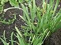 Allium nutans.JPG