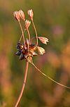 Allium oleraceum - rohulauk Keilas2.jpg