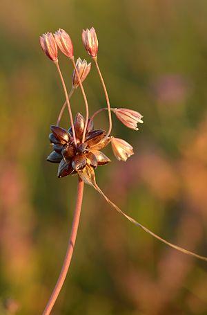 Allium oleraceum - Image: Allium oleraceum rohulauk Keilas 2
